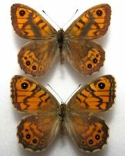 Lasiommata megera pair from Poland  (mounted)
