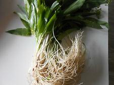 25 Stk mind.3-Jährige Bärlauchpflanzen,Zwiebeln aus meinem Garten