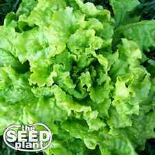 Black Seeded Simpson Lettuce Seeds -1,000 SEEDS NON-GMO