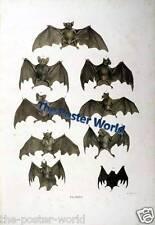 Set of 2 Antique Natural History 19th Century Colour Prints of Bats Home Decor