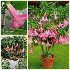 10 semi di Brugmansia suaveolens pink, Trombone d'angelo rosa