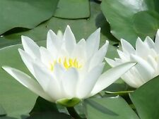 Bareroot Water Lily / Nymphaea - NEW! Hermine - White - Hardy healthy plants