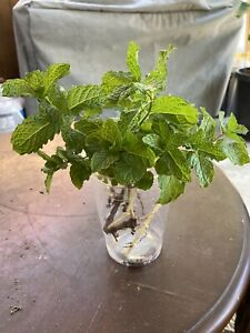 """2 Organic Mint """"Peppermint"""" Mojito Live Fresh Rooted Plants 3-5 Inch Tall"""
