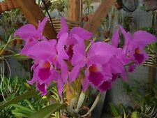 Cattleya labiata Libra x Sherwoods Forest orchid Select Quality Cross-Seedlings