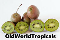 Prolific Hardy Kiwi Fruit Plant - Edible Fruit Vine
