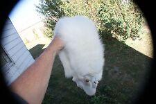 Arctic Fox pelt prime winter white fur trapper skin fur 3 paws n claws attached.