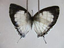 L2968 Unmounted butterflies: Lycaenidae sp. Central Vietnam.