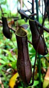 Nepenthes Gracilis 'Black 🌱 Fresh Seeds 🌱 Carnivorous Pitcher Plant
