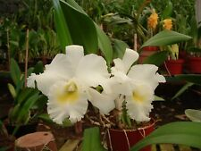 """ORCHID CATTLEYA  """"Pastoral Innocence"""" Large Blooming size pseudobulbs.Fragrant."""