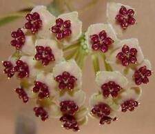 Herzblatt Hoya Kerrii Kleiner Liebling  Jungpflanze