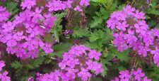 50 Verbena pink seeds hybrida Voss for a hanging basket-BUY 2 GET 1 FREE