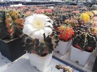 250 Pcs Mixed Gymnocalycium mihanovichii variegata Cactus Seeds Rare Plants