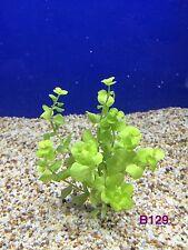 New listing Exotic Live Aquatic Plant Lysimachia nummularia 'Aurea' Bundle B129