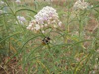 Asclepias fascicularis 'Narrow leaf milkweed'- White/pink flowers-Rare-10 seeds