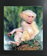 Albino Olive Baboon Baby Monkey Wildlife Animal Wall Art Decor Framed Picture