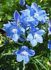 Delphinium grandiflorum Summer Blues x 6 jumbo plug plant Perennial, Pollinators