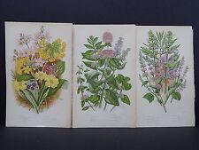 Anne Pratt Botanical, c.1899, Original Color, 3 Prints! English S2#59
