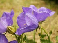 Tussock- Bellflower- Purple/blue- 200 Seeds- BOGO 50% off SALE