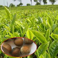 5X Samen Gesunder Garten Frischer Grüner Tee Pflanzensamen Pflanzen Hausgarten