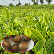 5pcs Seeds Green Tea Tree Plant Seeds Garden Camellia Sinensis Grow Your Own Tea