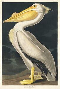 Vintage American White Pelican Print, Audubon Print,  , Quality Print A5 to A1