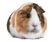 Guinea Pig Sticker, 9cm x 8cm, Decal, Rodent, Magnet Available, Free Aus Post