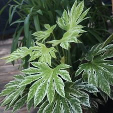 La bella zimmeraralie è una robusta e facile manutenzione verde pianta.