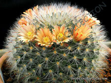 Rare Mammillaria Bocasana @j@ exotic flowering cacti cactus seed 20 Seeds