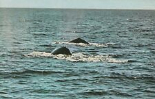 (Q)  Oceanside, CA - Gray Whales Surfacing