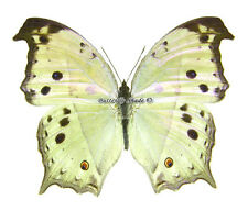 Unmounted Butterfly/Nymphalidae - Salamis parhassus, male, CAR, A1/A-