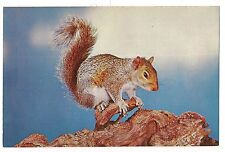 BUSHY TAIL  Brown SQUIRREL The ORIGINAL NUT-CRACKER Postcard Vintage