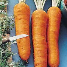 5g (appr. 4000) giant carrot seeds AUTUMN KING Heirloom Good winterkeper Large