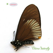 ABERRATION speical unmounted butterfly papilionidae Chilasa slateri