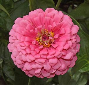 1oz Zinnia Flower Seeds Rose Pink Zinnia Elegans (Approx 4200 Seeds)