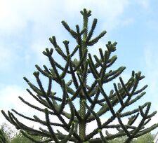 TOP Blickfang: 10 Samen Chilenische Araukarie (Araucaria araucana), Schmucktanne