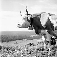 SUISSE c. 1959 - Vache Cloche  Col du Marchairuz - Négatif 6 x 6 - Sui 135