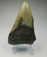 """Megalodon Shark Tooth Fossil, 3.35"""", No Restoration or repair, Giant tooth"""