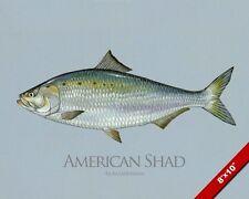 AMERICAN SHAD FISH PAINTING FISHING ART REAL CANVAS PRINT