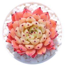 Echeveria cuspidata zaragozae Succulent live Plant Home Garden Flower Rare pot