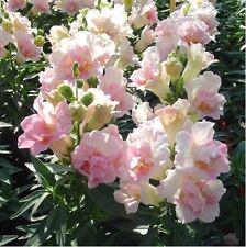Flower - Kings Seeds Picture Packet Antirrhinum Twinny Appleblossom F1 - 50 Seed