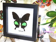 Real butterfly Taxidermy for sale collectible mounted Papilio paris BAPP