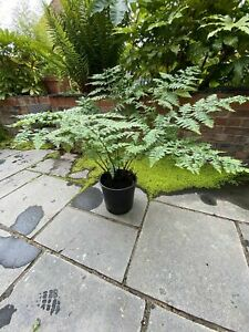 Fern plant XL Large Plant (Dryopteris affinis) Delivered to your door