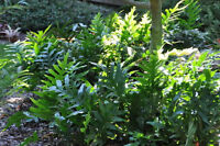 ferns plants 4 big florida healthy green fast growing outdoor living wart yard