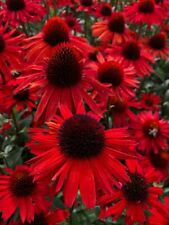 100pcs Big Sky Fire Red Echinacea Coneflower Outdoor Flowers Seeds Home Garden