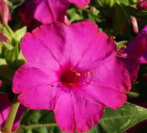 50 Rose Four O'Clock Flower Seeds Mirabilis jalapa + Gift