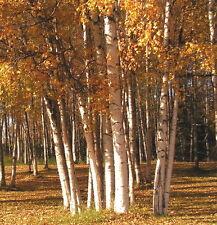 20 White Birch Seeds SHADE TREE WITH WHITE BARK