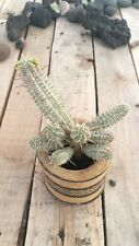 EUPHORBIA MAMMILLARIS VARIEGATA Esqueje rama Stem Cutting Succulent plant