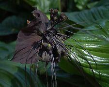 10 semillas negras fledermausblume-Tacca Chantrieri-Black Bat flower seeds