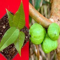 White Jaboticaba Plinia Aureana Large Leaf Brazilian Grape Fruit Tree Pot Plant
