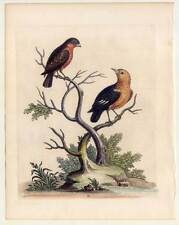 Bullfinch-Dompfaff-Manakin - Vögel-Vogel - Kupferstich Edwards 1746